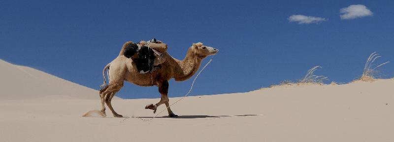 Camellos en la carretera